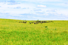 Cow grazes Royalty Free Stock Images