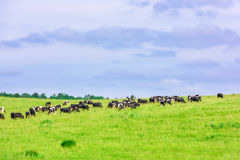 Cow grazes Stock Photo