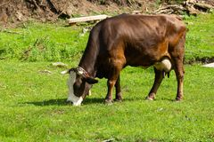 Cow grazes on a green meadow. In summer stock photo