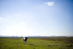 Cow Grazes On Green Meadow With Flowers Near Royalty Free Stock Photos