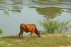 A cow grazes on the lawn of the riverbank. A cow walk along riverbank on a summer day stock photo