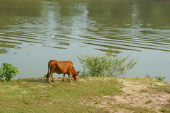 A cow grazes on the lawn of the riverbank. A cow walk along riverbank on a summer day royalty free stock images