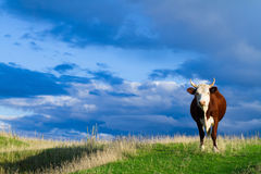 A cow grazes in a meadow. Stock Image