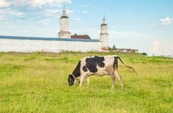 Cow grazes in a meadow. Against the walls and towers of an ancient monastery royalty free stock photography