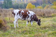 Cow grazes in a meadow. Autumn landscape. Russia.  stock photo