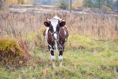 Cow grazes in a meadow. Autumn landscape. Russia stock image