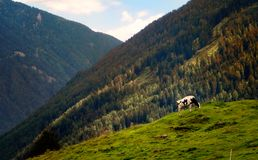 Cow grazes on the meadow in the mountains.  royalty free stock photo