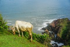 A cow grazes in a meadow near a cliff on a peninsula near the village Gokarna. India royalty free stock image