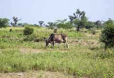 Cow grazes at a meadow in Rajasthan, India.  stock image