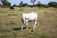Cow grazes at a meadow in Rajasthan, India.  royalty free stock image