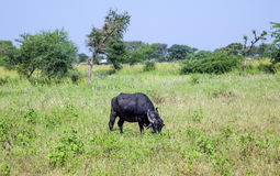Cow grazes at a meadow in Rajasthan, India Royalty Free Stock Photos