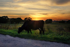 Cow grazes in meadow at sunset Stock Photo