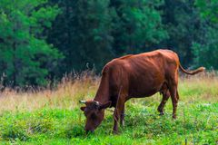 A cow grazes on a meadow in the Tatra mountains. Eats grass stock photo