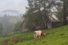 Cow grazes in the morning on the pasture in the background of the mist-covered mountains Royalty Free Stock Photos