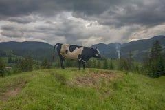 Cow grazes on a mountain pasture. Carpathians stock photo