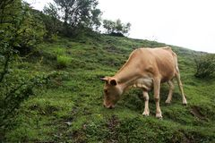 A Cow grazes on a mountain slope in a fog. Svaneti, Georgia royalty free stock photography