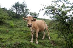 A cow grazes on a mountain slope. In Svaneti, Georgia royalty free stock images