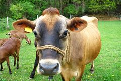 Cow grazes Royalty Free Stock Photography