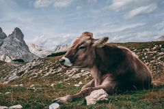 Betsy. Cow grazes over the Tre Cime Overlook Stock Photography