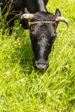 Cow grazes in a pasture. Royalty Free Stock Photography