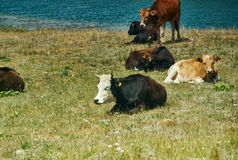 Alay Valley , cow grazes. Cow grazes Pik Lenin, Sary Mogul, Altai and Pamir Mountains, Kyrgyzstan, Central Asia royalty free stock photography