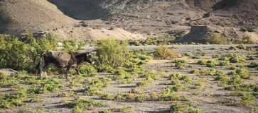 Cow grazes in the steppe. Cow grazes in the vast steppe royalty free stock images