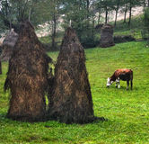 Cow grazes to buy hay Royalty Free Stock Photography