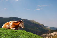 Cow grazing. In the mountains royalty free stock photo
