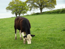 Cow Grazing. In a Green Field royalty free stock photos