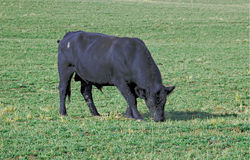 Cow Grazing. Black cow grazing in green pasture Royalty Free Stock Images