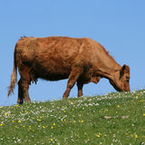 Cow grazing Stock Image