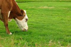 Cow grazing Stock Photo