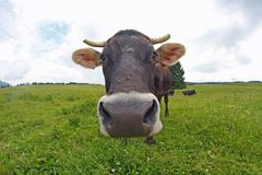Cow grazing on alpine with eyes fixed on the lawn Royalty Free Stock Photo