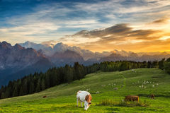 Cow grazing on alpine meadow royalty free stock photography