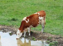 Cow grazing in alpine mountain lake while drinking Royalty Free Stock Photography