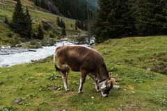 Cow grazing in alpine valley Royalty Free Stock Images