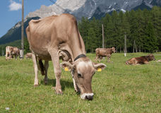 Cow grazing in the alps Stock Image