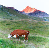 Cow grazing on the Alps Stock Images
