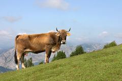 Cow grazing in Asturias. A cow grazing in a mountain of Asturias, near the San Lorenzo pass Stock Images