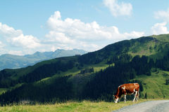 Cow grazing on the austrian mountains. Brown and white cow on the field with mountains as background Royalty Free Stock Images