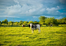 Cow grazing with a background of cloudy sky threatening. Stock Photography