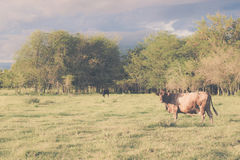 Cow grazing with a background of cloudy sky threatening. Royalty Free Stock Image