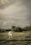 Cow grazing with a background of cloudy sky threatening. Royalty Free Stock Images