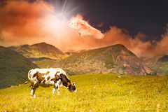 Cow grazing on a background of mountain Stock Image