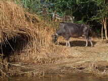 Cow grazing on the banks of the River Nile, Egypt Royalty Free Stock Photos