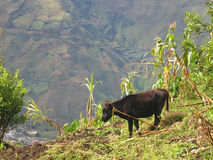 Cow Grazing in Banos, Ecuador. Cow grazing on a hill overlooking Banos, Ecuador Stock Photo