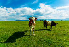 Cow grazing on a beautiful green meadow, with snowy mountains in background. Stock Photo