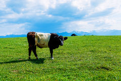 Cow grazing on a beautiful green meadow, with snowy mountains in background. Stock Images