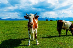 Cow grazing on a beautiful green meadow, with snowy mountains in background. Royalty Free Stock Images