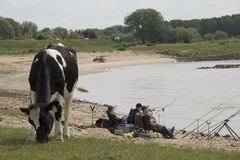 Cow grazing and boys fishing in the river Waal stock images